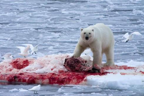 Anyway, like I said, Polar bears eat