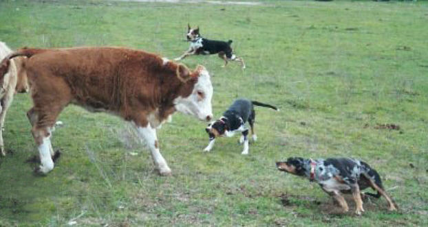 Catahoula Leopard Dogs Working Cows