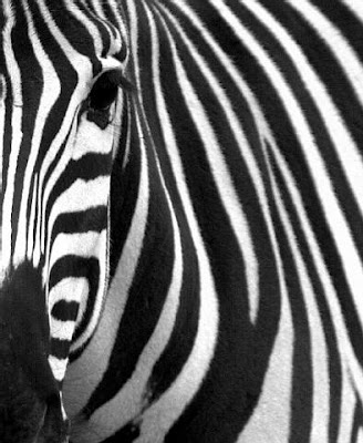 zebra wallpapers. ZEBRA Wallpaper