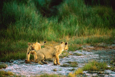 ������ ���� ���� Lion_007.jpg