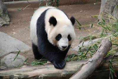 ���� ����� ������.....����� Panda-Bear.jpg