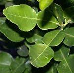 Kaffir lime leaves daun jeruk purut