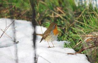 pettirosso sulla neve