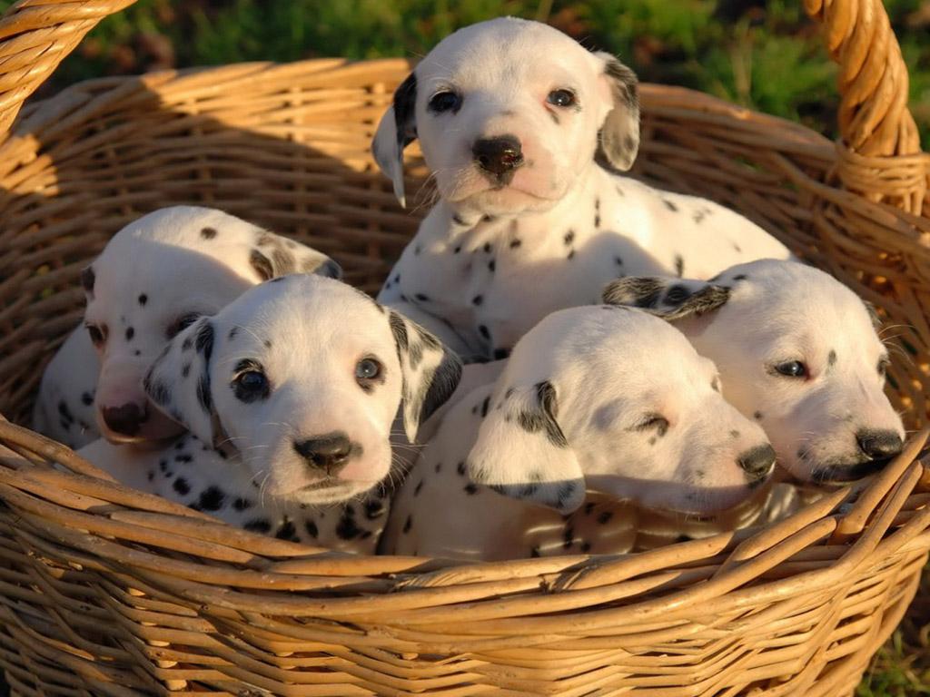 http://1.bp.blogspot.com/_0H6yKO-YKL4/TUP50QOmjAI/AAAAAAAAA5s/0AyWQKIn8LU/s1600/cachorros%2Bdalmata.jpg