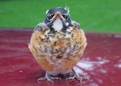 Baby Robin