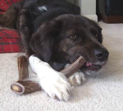 Do Antler Chews Wear Down A Dog S Teeth