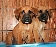 5/10/10 Boxer Lovers, these boxers and boxer mixes need you.