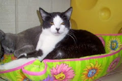 11/10/09 Toulouse is one of the cats who needs  a rescue or purson to call his own. Urgent Ky