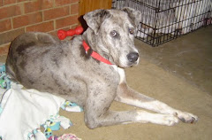 6/24/10 Look at these Great Danes  & Others Need  Donations for Vet Care- Georgia Rescue