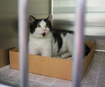 "2/7/11 Picasso Friendly Young Cat- LAST CHANCE KILL SHELTER GA. ""Barrow is rescue friendly and out-"