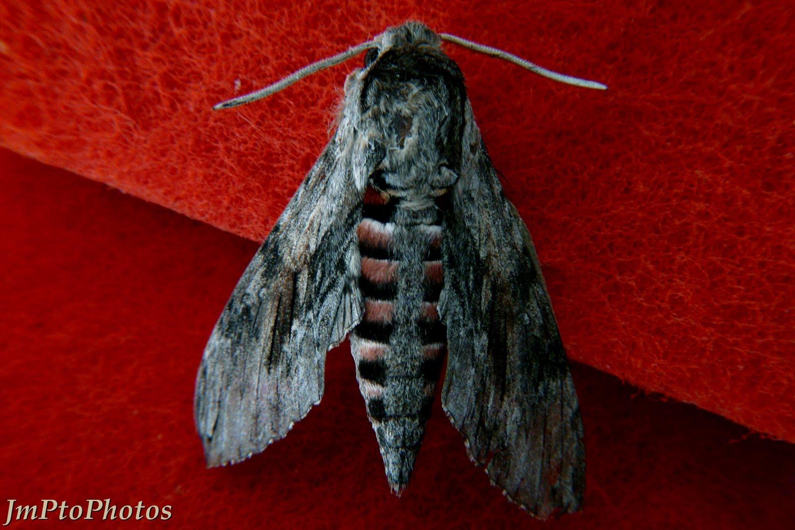 Jmptophotos septembre 2010 - Gros papillon de nuit dangereux ...