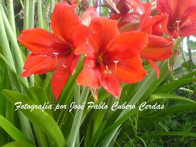Decoespacios plantas ornamentales de costa rica for Algunas plantas ornamentales