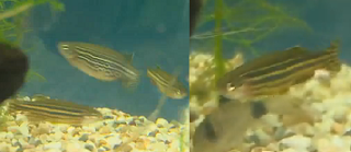 male and pregnant female zebra danio