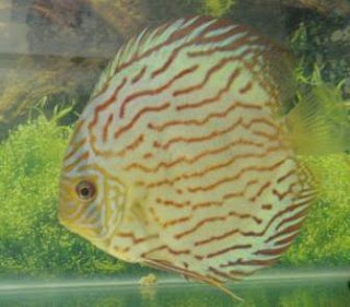 aquarium fish species discus