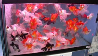 All about aquarium fish live feeder fish for Live feeder fish