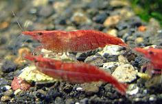 cherry red shrimp