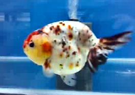 edo nishiki goldfish