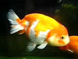 ranchu japanese goldfish