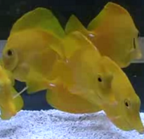 group of yellow tang fish