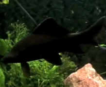 all black shark