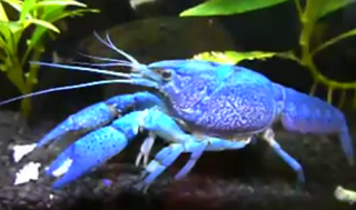 All about aquarium fish crayfish info how to care what for Electric fish tank