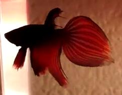 fish torn fins