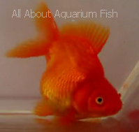 All about aquarium fish can my goldfish become pregnant for Fish good for pregnancy
