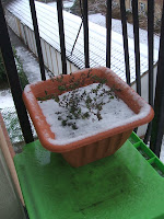 Oregano covered in snow; photo by Val Phoenix