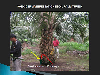 OIL PALM TREE