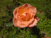 Big Rose