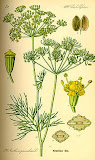The Nutritional Benefits of Adding Dill to your Diet