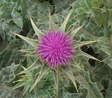 The Astounding Benefits of Milk Thistle