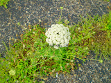 The Story of Queen Anne&#39;s Lace