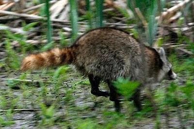 Raccoon running away