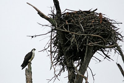 Osprey and its giant nest