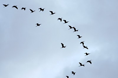 White-faced Ibis Fly-over