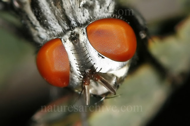 Flesh Fly Macro of Compound Eyes