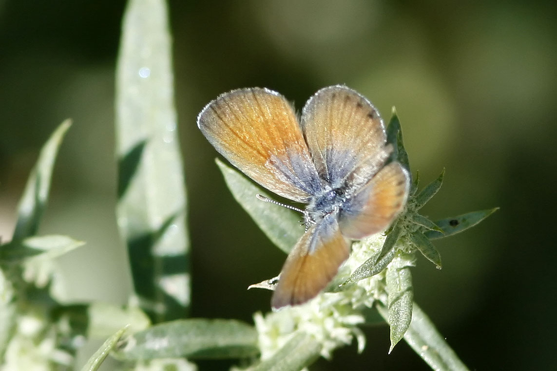 Western pygmy blue butterfly - photo#3
