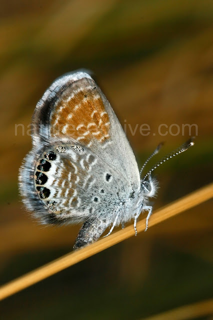 Western pygmy blue butterfly - photo#17