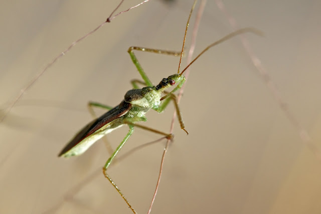 Assassin Bug, Zelus species