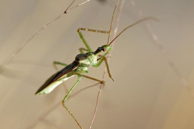 Assassin Bug, Zelus species
