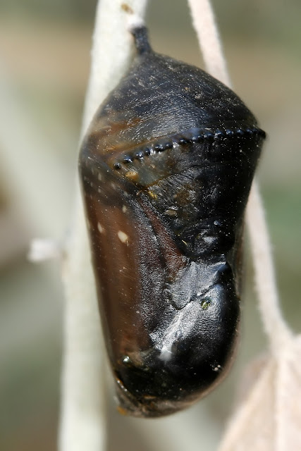 Queen Butterfly in Chrysalis