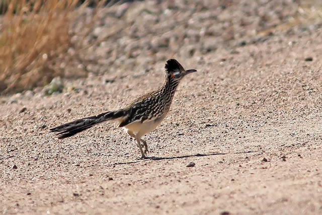 Greater Roadrunner on road