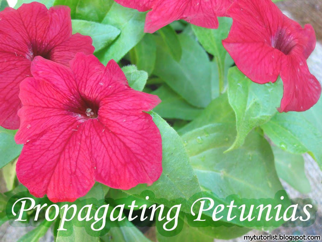 how to make petunias fuller