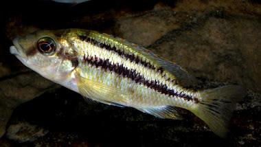Cheilochromis euchilus - samička