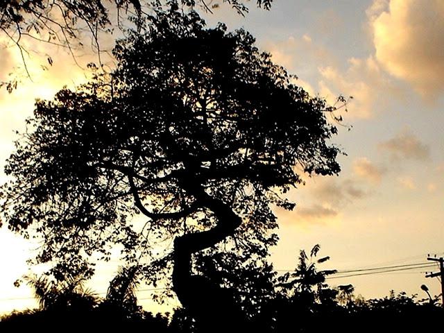 Árvore do Cerrado com sua silhueta tortuosa no Parque Areião em Goiânia