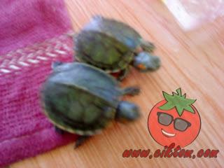 kura-kura diego dan dora 9