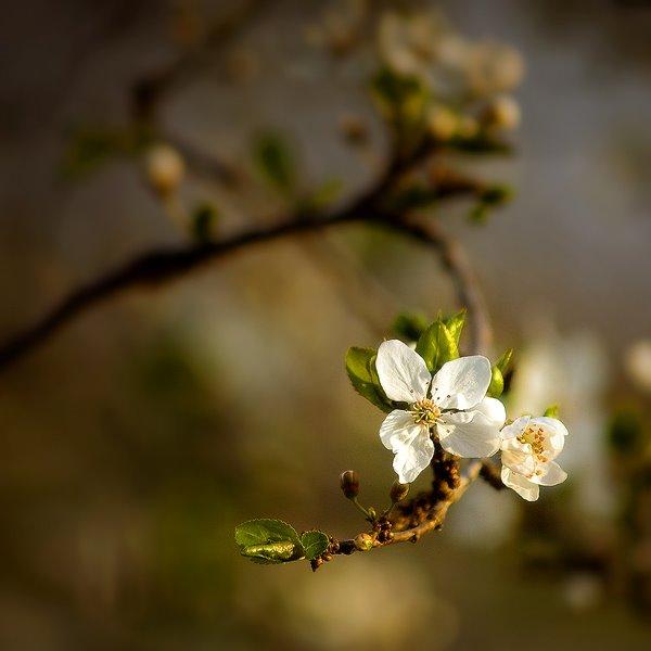 ჩემი გაზაფხულის აყვავება