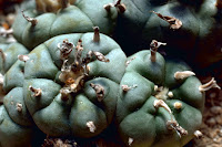 Cactus Peyote