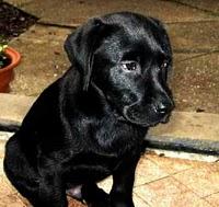 Cachorro Labrador Retriever. Fiel Mascota